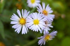 Flores constantes do áster do outono. Imagens de Stock Royalty Free