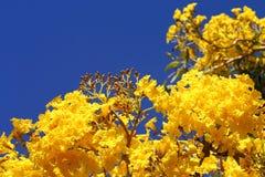 Flores Contorted do salgueiro Imagens de Stock