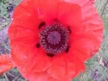 Flores, cor, beleza, natureza, fora, papoila, verão, verde, canteiro de flores, pétala, jardins, haste, folha, vermelha fotografia de stock royalty free