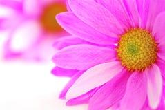 Flores cor-de-rosa Imagem de Stock Royalty Free