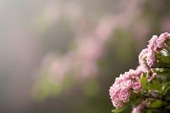 Flores cor-de-rosa Imagem de Stock