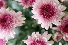 Flores cor-de-rosa Foto de Stock Royalty Free