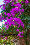 Flores cor-de-rosa Fotografia de Stock