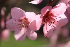 Flores cor-de-rosa Imagens de Stock Royalty Free
