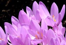 Flores cor-de-rosa de açafrões de outono Foto de Stock Royalty Free