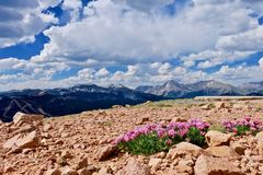 Flores cor-de-rosa alpinas do trevo em montanhas Foto de Stock Royalty Free
