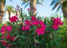 Flores cor-de-rosa bonitas Fotografia de Stock