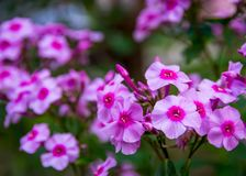 Flores cor-de-rosa bonitas Fotografia de Stock Royalty Free
