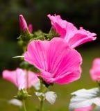 Flores cor-de-rosa bonitas foto de stock royalty free