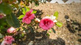 Flores cor-de-rosa bonitas Imagens de Stock