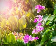 Flores cor-de-rosa bonitas com as folhas verdes na luz do sol Imagens de Stock Royalty Free