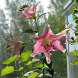 Flores cor-de-rosa bonitas com bordas brancas do lírio Balcão que esverdeia com plantas de florescência foto de stock royalty free