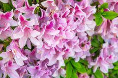 Flores cor-de-rosa bonitas, conceito do feriado da mola Fotografia de Stock Royalty Free