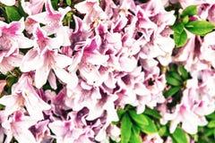 Flores cor-de-rosa bonitas, conceito do feriado da mola Imagem de Stock