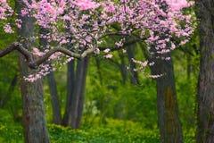 Flores cor-de-rosa bonitas da árvore Fotografia de Stock