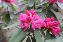 Flores cor-de-rosa bonitas da árvore do rododendro Fotografia de Stock