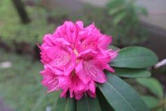 Flores cor-de-rosa bonitas da árvore do rododendro Imagem de Stock