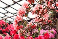 Flores cor-de-rosa bonitas da árvore do rododendro Azálea na natureza Flor cor-de-rosa de Rosa de deserto do close up Fotografia de Stock Royalty Free