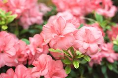 Flores cor-de-rosa bonitas da árvore do rododendro Azálea na natureza Flor cor-de-rosa de Rosa de deserto do close up Imagem de Stock Royalty Free