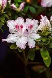 Flores cor-de-rosa bonitas da árvore do rododendro Azálea na natureza Flor cor-de-rosa de Rosa de deserto do close up Fotos de Stock Royalty Free