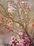 Flores cor-de-rosa bonitas da ameixa na mola Imagens de Stock Royalty Free