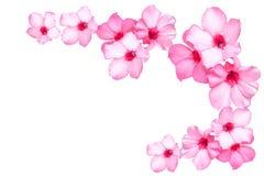 Flores cor-de-rosa bonitas da azálea Fotos de Stock Royalty Free