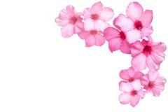 Flores cor-de-rosa bonitas da azálea Imagens de Stock Royalty Free
