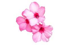 Flores cor-de-rosa bonitas da azálea Foto de Stock