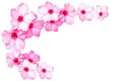 Flores cor-de-rosa bonitas da azálea Fotos de Stock