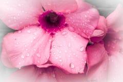 Flores cor-de-rosa bonitas da azálea Imagem de Stock Royalty Free