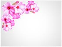 Flores cor-de-rosa bonitas da azálea Imagem de Stock