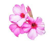 Flores cor-de-rosa bonitas da azálea Imagens de Stock