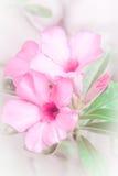 Flores cor-de-rosa bonitas da azálea Foto de Stock Royalty Free