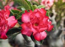 Flores cor-de-rosa bonitas da azálea, foco seletivo Imagens de Stock Royalty Free