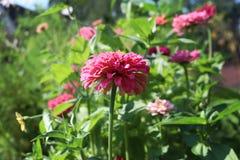 Flores cor-de-rosa bonitas da dália no jardim Imagens de Stock