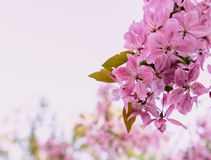 Flores cor-de-rosa bonitas da flor de cerejeira Imagem de Stock Royalty Free