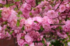 Flores cor-de-rosa bonitas da flor de cerejeira na mola fotografia de stock royalty free