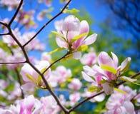 Flores cor-de-rosa bonitas da magnólia no fundo do céu azul Imagem floral da mola Imagens de Stock