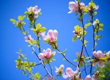 Flores cor-de-rosa bonitas da magnólia no fundo do céu azul Imagem floral da mola Foto de Stock