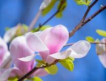 Flores cor-de-rosa bonitas da magnólia no fundo do céu azul Imagem floral da mola Fotografia de Stock Royalty Free