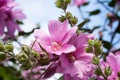 Flores cor-de-rosa bonitas da malva rosa no jardim Imagem de Stock Royalty Free