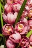 Flores cor-de-rosa bonitas da orquídea Imagens de Stock