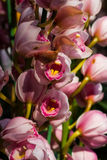 Flores cor-de-rosa bonitas da orquídea Imagem de Stock