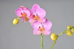 Flores cor-de-rosa bonitas da orquídea Fotos de Stock Royalty Free