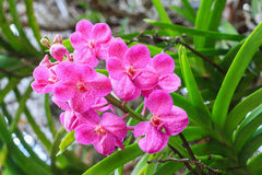 Flores cor-de-rosa bonitas da orquídea Fotografia de Stock