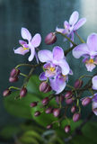 Flores cor-de-rosa bonitas da orquídea Fotografia de Stock Royalty Free
