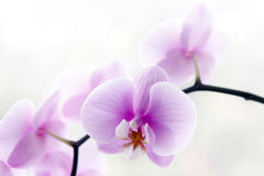 Flores cor-de-rosa bonitas da orquídea Foto de Stock Royalty Free
