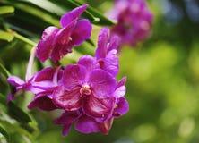 Flores cor-de-rosa bonitas da orquídea na natureza Foto de Stock
