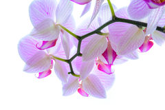Flores cor-de-rosa bonitas da orquídea no fundo branco Imagens de Stock Royalty Free