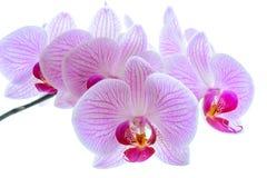 Flores cor-de-rosa bonitas da orquídea no fundo branco Fotografia de Stock Royalty Free